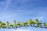 branch of grape vine
