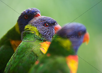 three lorikeets