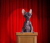 Funny hairless cat standing on a rostrum for a speech with red c