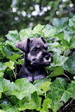 Mini Schnauzer in English Ivy