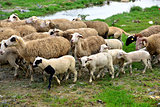 Healthy sheep, lambs and livestock