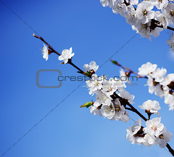 blooming apricot-tree on blue sky background