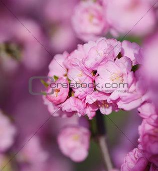 Blossoming sakura with pink flowers, closeup shot