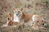 female Lion and lion cub