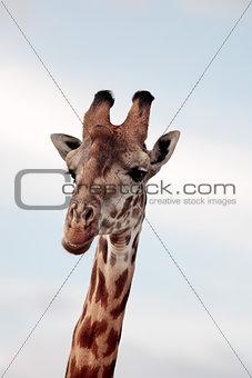 Masai or Kilimanjaro Giraffe