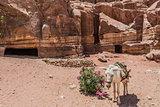 donkey in nabatean city of  petra jordan