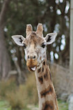 cheeky Giraffe poking out its tongue