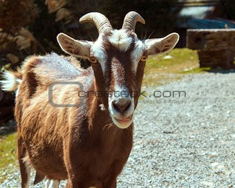 Goat Poses for its Portrait