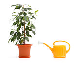 Ficus Benjamina and sprinkling can