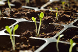 Gardening. Young sprouts growing in propagator