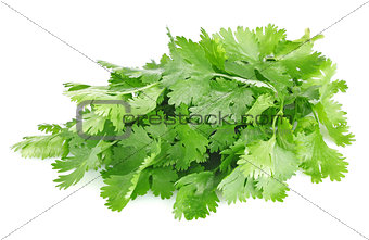 fresh leaves of cilantro
