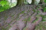 Tree roots, England