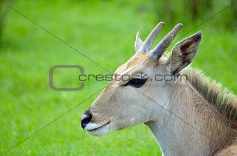 Young Eland antelope
