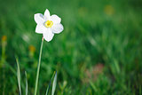 Narcissus in the meadow among green grass
