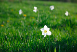 White narcissus in the meadow and four narcissus away