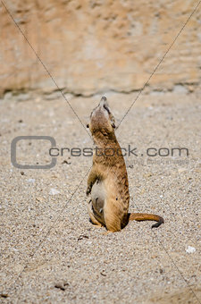 Suricate looking up