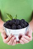 Juicy blackberries in woman hands