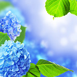 Beautiful hydrangea flowers.