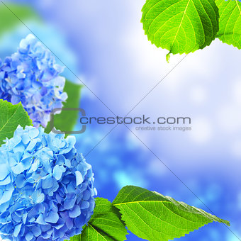 Beautiful hydrangea flowers.