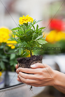 Woman about to put plant into pot