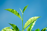 Tea Leaf with blue sky