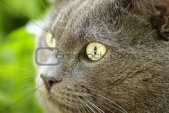 close up portrait of young british cat