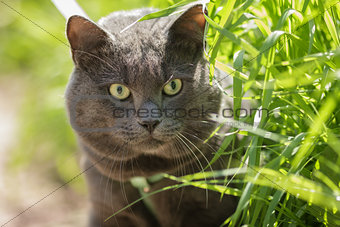 portrait of young british cat hunting