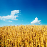 golden harvest on field under deep blue sky