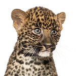 Close-up of a Spotted Leopard cub - Panthera pardus, 7 weeks old