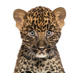 Close-up of a Spotted Leopard cub starring at the camera - Panth