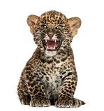 Spotted Leopard cub sitting and roaring- Panthera pardus, 7 week