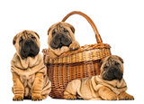 Three Sharpei puppies , sitting, lying and put in a wicker baske