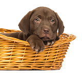 Close-up of a Labrador Retriever Puppy lying down in wicker bask
