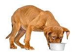 Dogue de Bordeaux Puppy eating from a metalic dog bowl, 4 months
