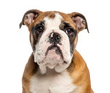 Close-up of an English Bulldog puppy, 3,5 months old, isolated o