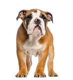 English Bulldog puppy, 3,5 months old, standing, isolated on whi