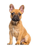 French Bulldog puppy sitting and staring, 4 months old, isolated
