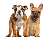 English Bulldog puppy and French Bulldog puppies next to each ot