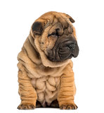 Shar Pei puppy, 2 months old, sitting, isolated on white