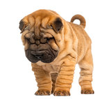Shar Pei puppy, 2 months old, standing and looking down, isolate