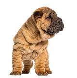 Shar Pei puppy, 2 months old, standing, isolated on white