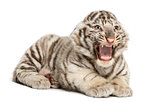 White tiger cub roaring and lying (2 months old), isolated on wh