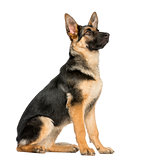 side view on a young German shepherd sitting, looking up, 6 mont