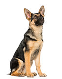 young German shepherd sitting, looking up, 6 months old, isolate