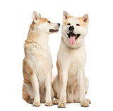 Two Akita Inus sitting and interacting, 2 years old, isolated on