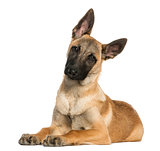 Young Belgian Shepherd lying down and staring, 5 months old, iso