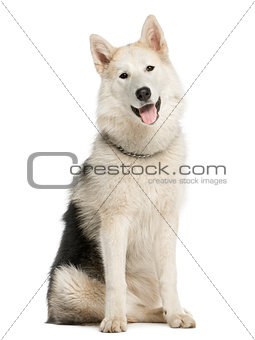 Alaskan Malamut sitting and panting, isolated on white