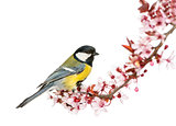 Male great tit perched on a flowering branch, Parus major, isola