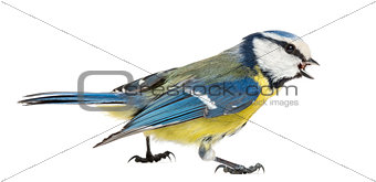 Side view of a Whistling Blue Tit, Cyanistes caeruleus, isolated