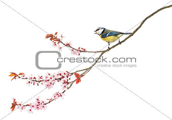 Side view of a tweeting Blue Tit perching on a blossoming branch